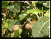 tea & ladybug small